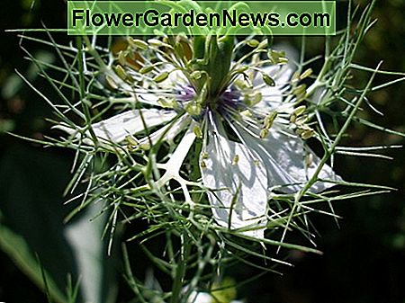 植物スポットライト:Love-in-a-Mist(Nigella Damascena)