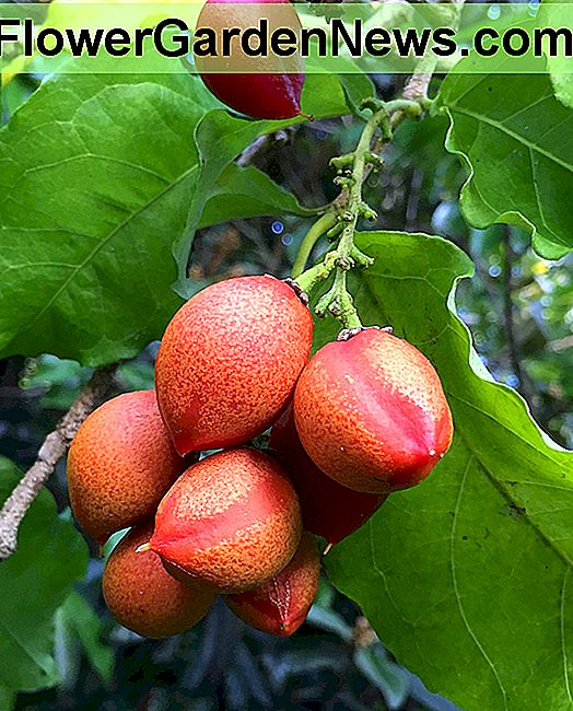 Tropical Taste of Hawaii: The Peculiar Butter Peanut Fruit