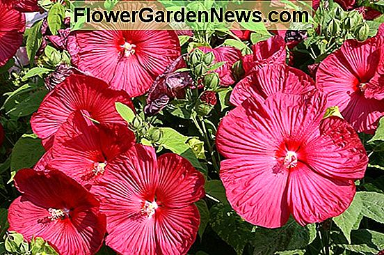 Rose of Sharon, Tropical Hibiscus, dan Hardy Hibiscus