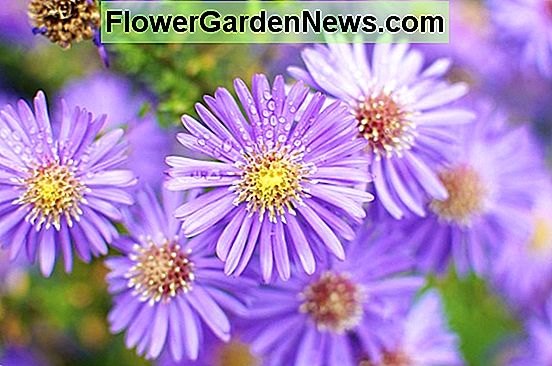 Aster: The Stars of Your Fall Garden
