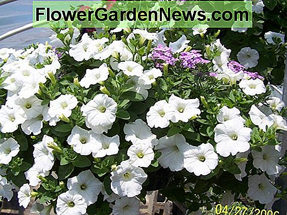 The Gardener's Companion: How to Grow Wave Petunias