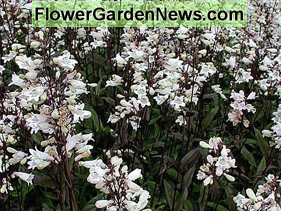 Come coltivare Penstemon (Beardtongue), una pianta autoctona