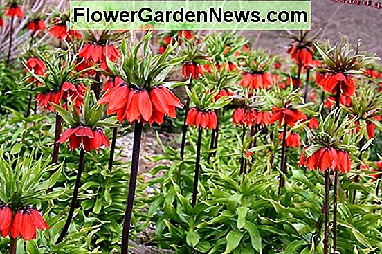 Fritillaria imperialis (Crown Imperial)