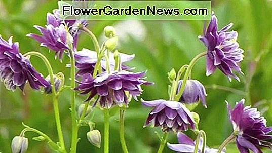 Aquilegia vulgaris var. stellata 'Green Apples' (Columbine)