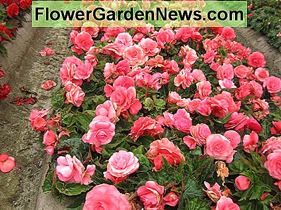 Begonia 'Roseform Peach'