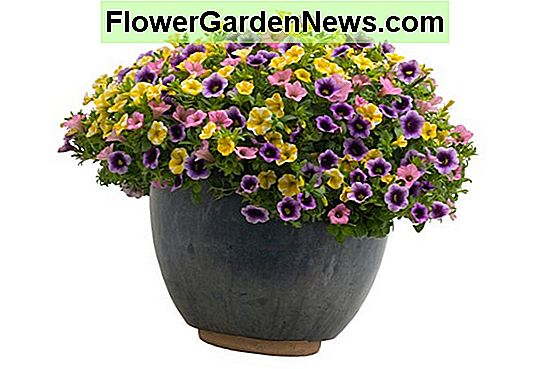 Calibrachoa 'Superbells Blue Moon Punch'