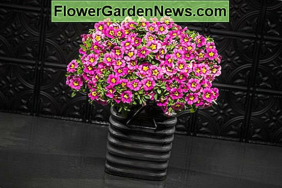Calibrachoa 'Superbells Hollywood Star'
