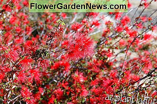 Calliandra californica (Baja Fairy Duster)