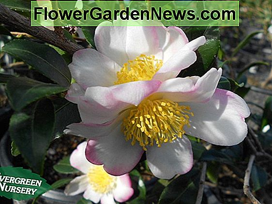 Camellia japonica 'Apple Blossom'