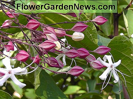 Clerodendrum trichotomum (Harlequin Glorybower)
