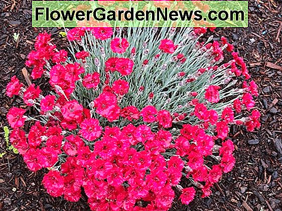 Dianthus 'Frosty Fire' (Rosa)