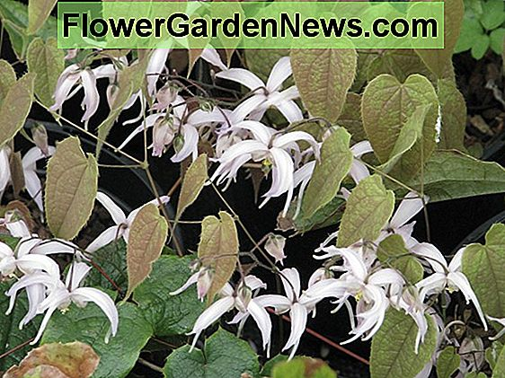 Epimedium leptorrhizum (Barrenwort)