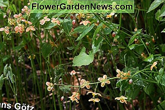 Epimedium × warleyense 'Orangekönigin' (Barrenwort)