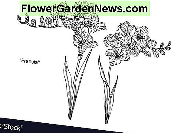 Freesia Single White
