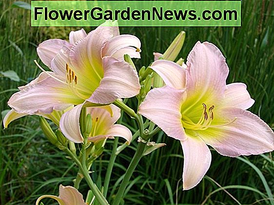 Hemerocallis 'Barbary Corsair' (Reblooming Daylily)