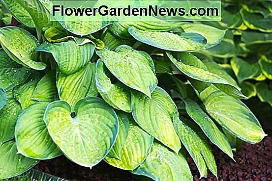 Hosta 'Guacamole' (Piantaggine Lily)