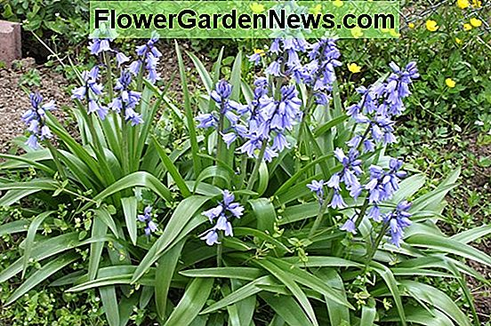 Hyacinthoides hispanica 'Miss World'(スペイン語ブルーベル)
