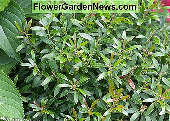 Ilex glabra 'Strongbox' (Inkberry)