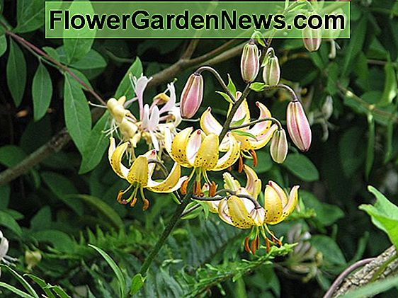 Lilium 'gospođa R.O. Backhouse '(Martagon Lily)
