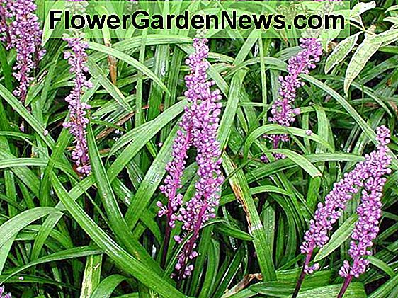 Liriope muscari 'Royal Purple' (Lily Turf)