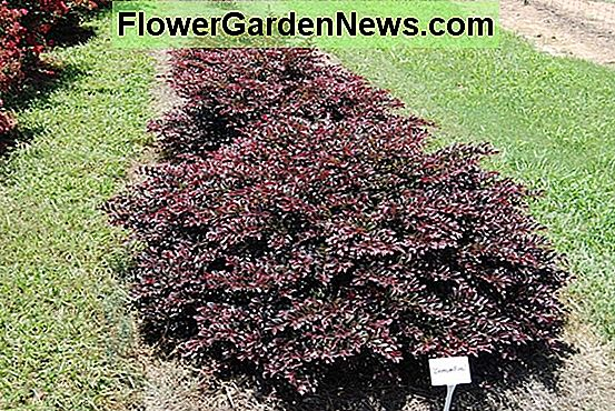 Loropetalum chinense 'Purple Daydream' (fiore di frangia cinese)