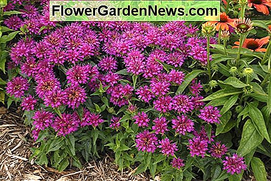 Monarda didyma 'Pardon My Purple' (Bee Balm)