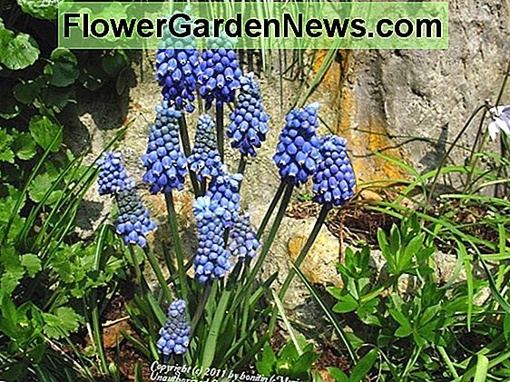 Muscari aucheri 'Blue Magic' (Giacinto d'uva)