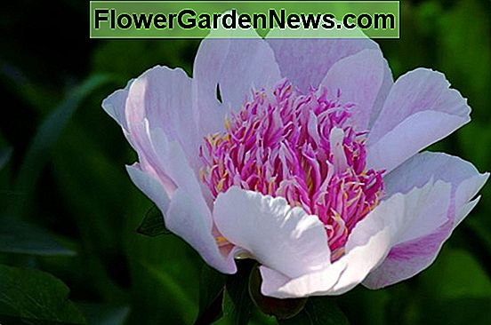 Paeonia lactiflora 'Do Tell' (Peonia)