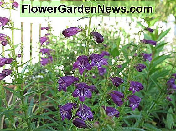 Penstemon 'Rich Ruby' (Beardtongue)
