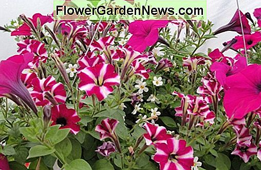 Petunia 'Shock Wave Deep Purple'