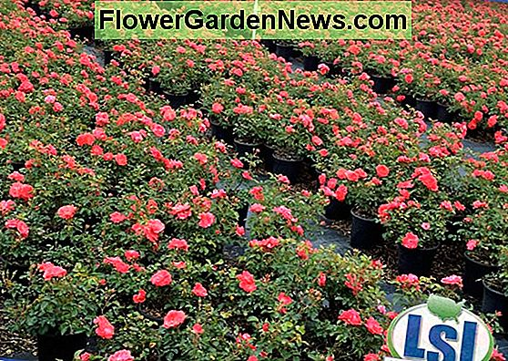 Rosa 'Coral Drift' (Groundcover Rose)