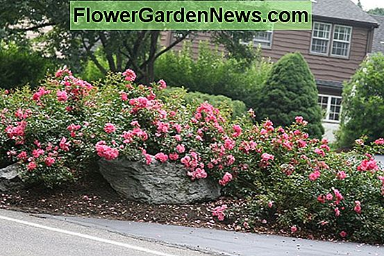 Rosa 'Pink Drift' (Groundcover Rose)