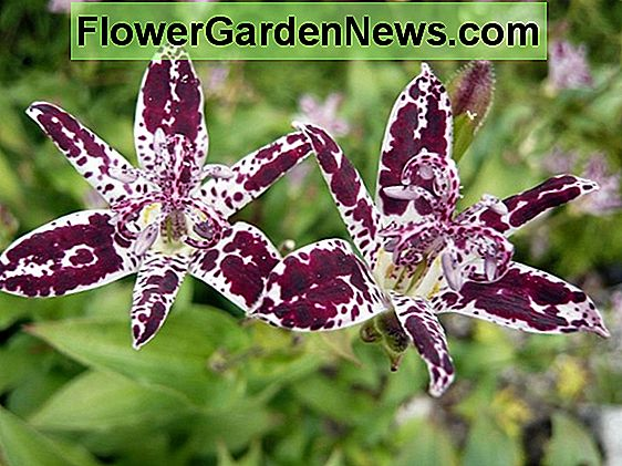 Tricyrtis 'Blue Wonder' (Toad Lily)