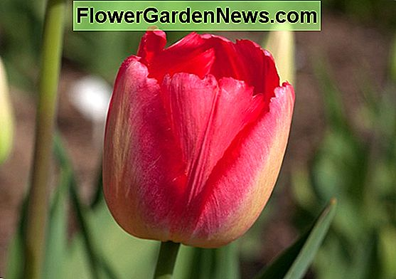 Tulipa 'Dordogne' (Single Late Tulip)