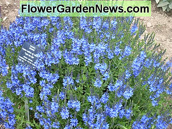 Veronica 'Waterperry Blue' (Speedwell)