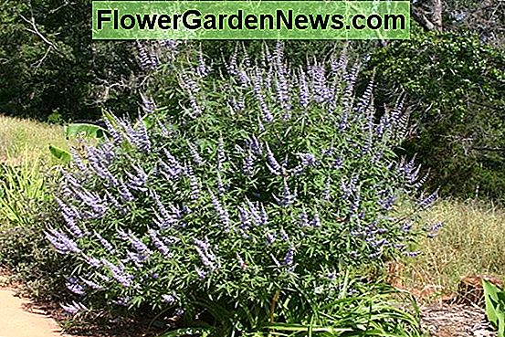 Vitex agnus-castus 'Shoal Creek' (Chaste Tree)