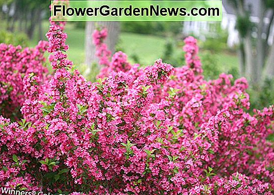 Weigela florida 'Sonic Bloom Pure Pink'