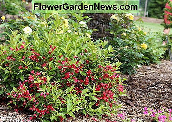 Weigela florida 'Sonic Bloom Red'