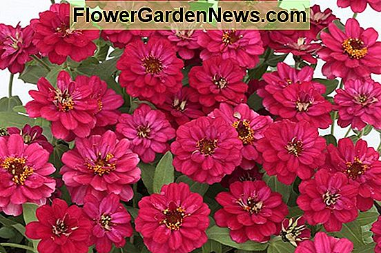 Zinnia 'Profusion Double Hot Cherry'