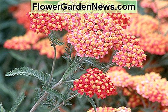 Achillea 'Fanal' o 'The Beacon' (Achillea)