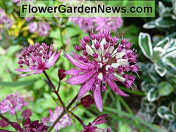 Astrantia 'Dark Shiny Eyes' (Masterwort)