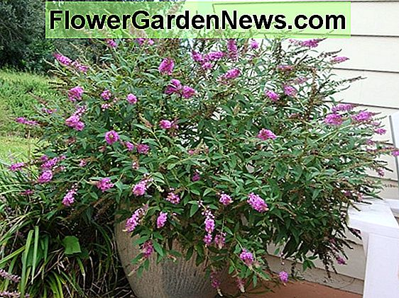 Buddleja davidii 'Buzz Magenta Improved' (Butterfly Bush)