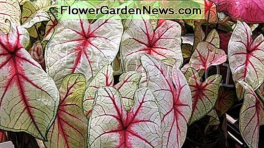 Caladium 'White Queen' (Angel Wings)