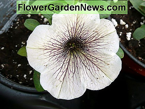 Calibrachoa 'Superbells Cherry Star'