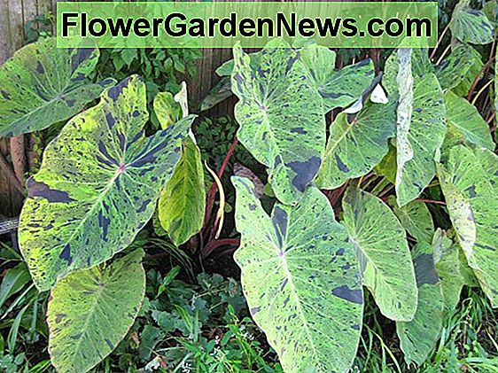 Colocasia esculenta 'Hawaiian Punch' (Taro)