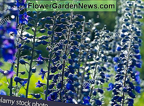 Delphinium 'Magic Fountain Lilac Pink' (Larkspur)
