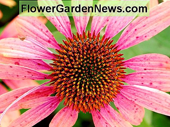 Echinacea purpurea 'Green Jewel' (Coneflower)