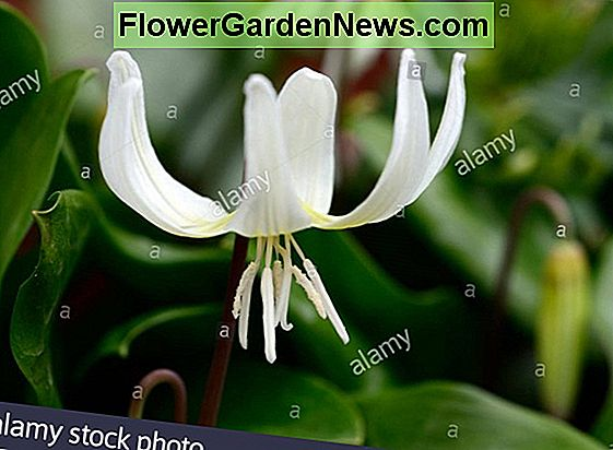 Erythronium californicum 'White Beauty' (Fawn Lily)