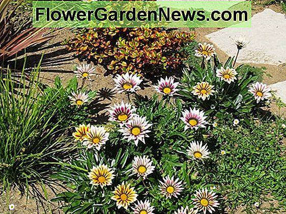 Gazania 'New Day Rose Stripe' (Fiore del tesoro)