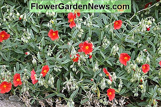 Helianthemum 'Henfield Brilliant' (Rock Rose)